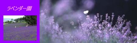 lavenderJPEG16K.jpg
